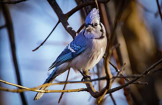 Blue Jay Look by Ray Congrove