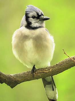 Springtime Blue Jay by Lori Frisch