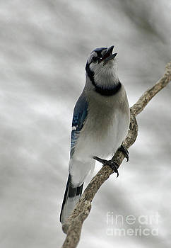 Cindy Treger - Blue Jay Singing Its Whisper Song