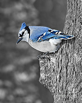 Blue Jay Watching by Kathy M Krause