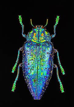 Blue Metallic Beetle by Gary Shepard