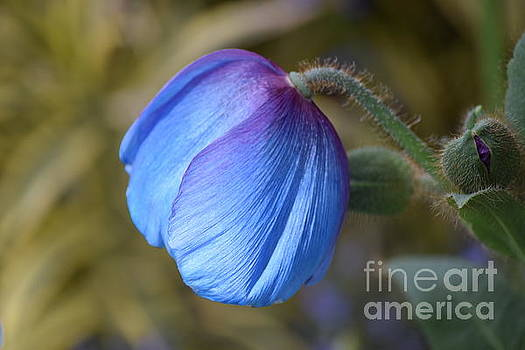 Blue Poppy Waiting To Bloom by Jeannie Rhode