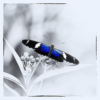 Blue Postman Butterfly by Jaroslav Buna