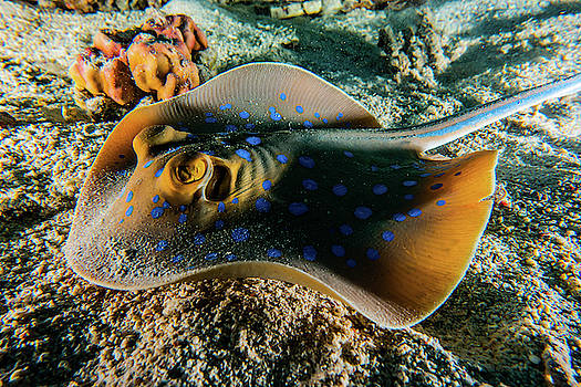 Blue spotted stingray in the Red Sea by Avner Efrati