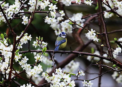 Blue Tit In Blossom by Jeff Townsend