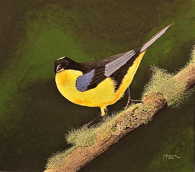 Blue-winged Mountain Tanager by Nelson Hammer