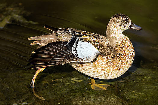 Blue-Winged Teal Duck Female by Darrell Gregg