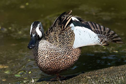 Blue-Winged Teal Duck Male by Darrell Gregg