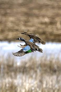 Blue Winged Teals In Flight  by Rick Grisolano Photography LLC