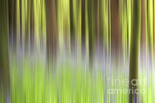 Bluebell Woods by John Edwards