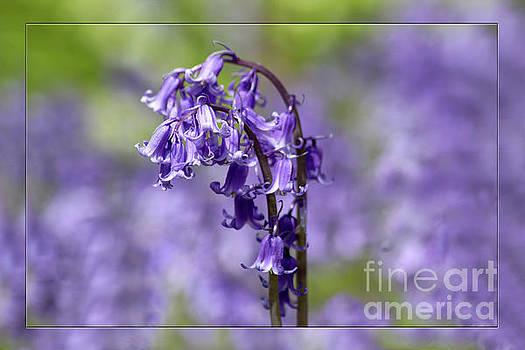 Bluebells by Lynn Bolt