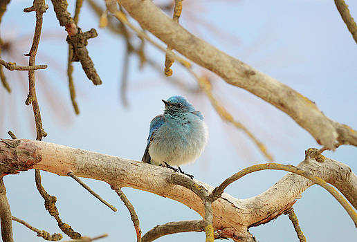 Bluebird in Branches by Whispering Peaks Photography