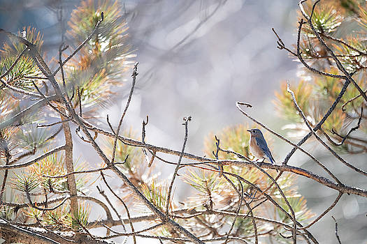 Bluebird of Happiness by Brian Hale