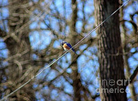 Bluebird Sitting on a Wire by Karen Adams