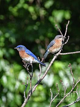 Bluebirds Of Happiness by Cindy Treger