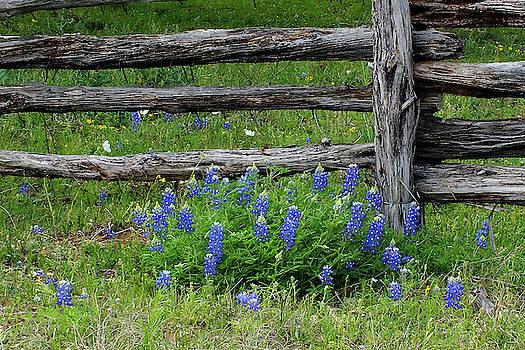 Bluebonnet Fence by Bill Morgenstern