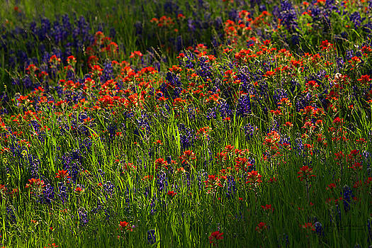 Bluebonnets and Indian Paintbrush by Debby Richards