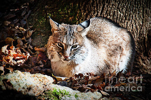 Bobcat 1 by Mim White