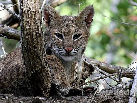 Bobcat  by Meg Rousher