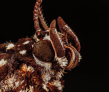 Boisduval's Tiger Moth 4X by Gary Shepard