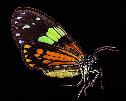 Boisduval's Tiger Moth by Gary Shepard