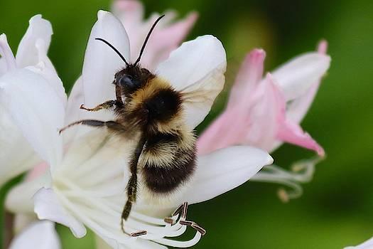 Bombus terrestris-Bumblebee by Sarah Lilja