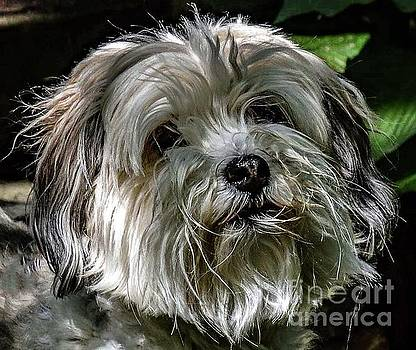 Boopers - Havanese by Cindy Treger