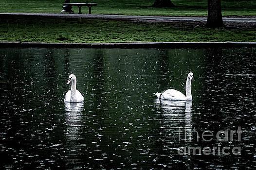Boston Commons Swans by Elizabeth Dow