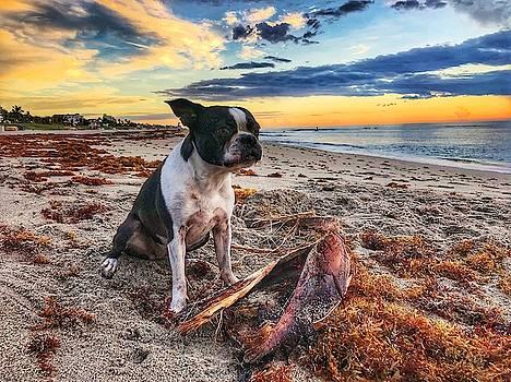Boston Terrier at Sunrise 2 Delray Beach, Florida by Lawrence S Richardson Jr