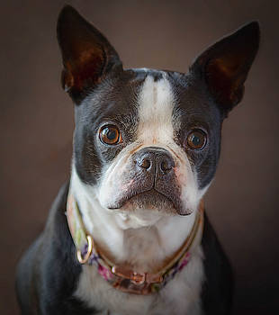 Boston Terrier Gabby Girl  by Mary Lynn Giacomini