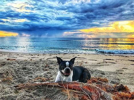 Boston Terrier Sunrise Delray Beach Florida by Lawrence S Richardson Jr