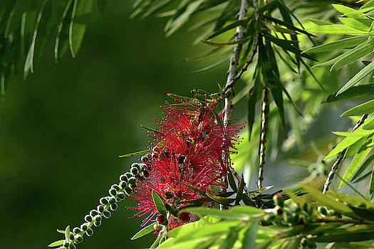 Bottlebrush And Fruit by William Tasker