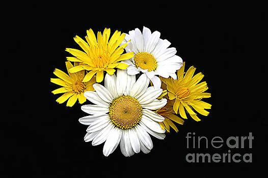 bouquet Ox-eye Daisy and Seaside Dandelion by Robert C Paulson Jr