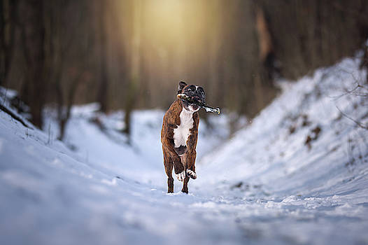 Boxer dog playing with a stick  by Tamas Szarka