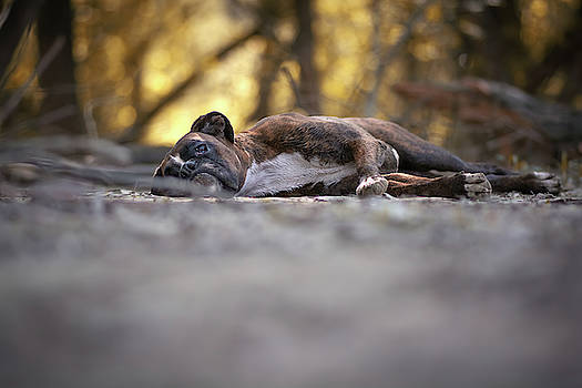Boxer dog resting in the forest  by Tamas Szarka