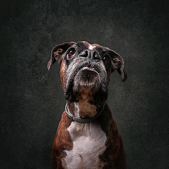 Boxer portrait by Tamas Szarka