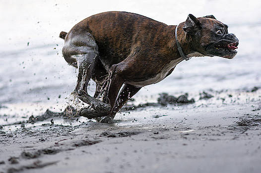 Boxer running in the mud  by Tamas Szarka