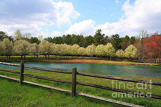Bradford Pear Trees Blooming by Jill Lang