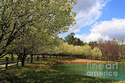 Bradford Pear Trees by Jill Lang