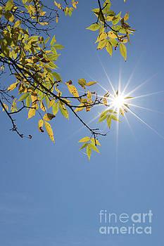 Branch And Sunstar by Nicki Hoffman