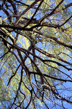 Branches Against Blue Sky by Kristi Beers-Mason