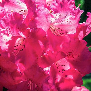 Bright Pink Blooming Rhododendron by Bonnie Follett