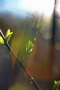 Bright spring sunshine is illuminating budding leaves 1 by Ulrich Kunst And Bettina Scheidulin