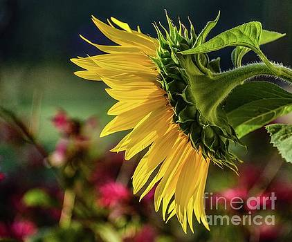 Cindy Treger - Brilliance Of A Sunflower