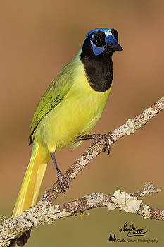 Brilliant Green Jay by David Cutts