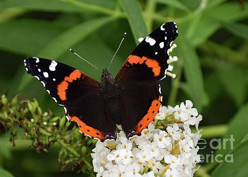 Cindy Treger - Brilliant Red Admiral