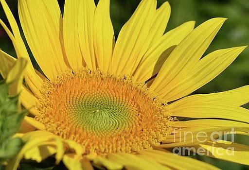 Cindy Treger - Brilliant Yellow - Sunflower