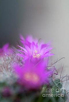 Bristle brush cactus Mammillaria spinosissima j2 by Humorous Quotes