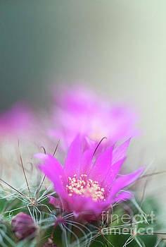 Bristle brush cactus Mammillaria spinosissima j3 by Humorous Quotes