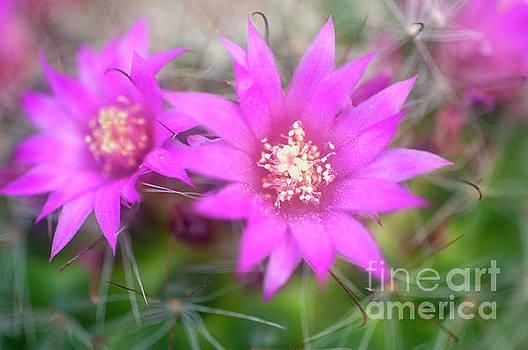 Bristle brush cactus Mammillaria spinosissima j4 by Humorous Quotes